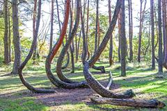 Stock Photo of grove of oddly shaped pine trees in crooked forest, poland.