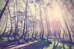 Vintage style picture of crooked forest, gryfino in poland. Stock Photos