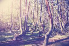 Vintage style picture of crooked forest, poland. Stock Photos
