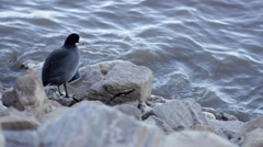 American Coot Rests Along The Riverside Stock Footage