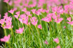 Pink rain lily or rose pink zephyr lily, zephyranthes carinata. Stock Photos