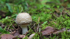 Amanita pantherina Stock Footage