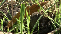 Field Mouse eating grass on the agriculture field with wheat Stock Footage