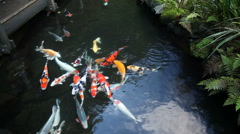 Large Group of Colorful Koi Fish Swimming in Garden Pond Movie 1920x1080 Stock Footage
