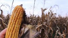 Holding Corn ,Agriculture field Autumn gull hd footage 1980 x 1080 Stock Footage