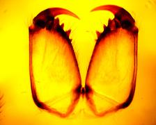 Spider (Araneae) chelicerae and pedipalps - permanent slide plate under high - stock photo