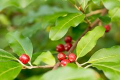 ripe autumn olive berries (elaeagnus umbellata) growing on a branch - stock photo