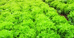 Close up view of fresh leaves of green lettuce salad growth outdoor 4k video Stock Footage