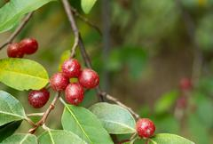 Ripe autumn olive berries (elaeagnus umbellata) growing on a branch Stock Photos