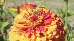 Bee Pollonating Yellow and Orange Flower Stock Footage