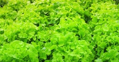 Dolly shot of field with green vegetables. Lettuce salad produce Stock Footage