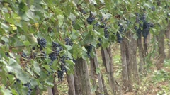 Vineyard one line at an angle Cabernet Sauvignon Stock Footage
