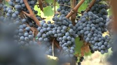 Vineyard grapes more of them second plan focus Cabernet Sauvignon Stock Footage