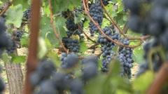 Vineyard grapes third plan focus Cabernet Sauvignon - stock footage