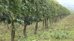 Vineyard one line of Cabernet Sauvignon Stock Footage