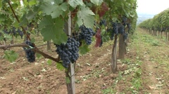 Vineyard the first line in focus Cabernet Sauvignon Stock Footage