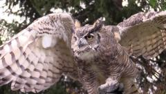 Great horned owl flaps his wings Stock Footage
