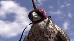 Peregine falcon with a falconry hood  background sky Stock Footage