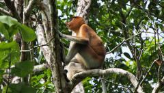 Wild Proboscis Monkey Sitting on Tree, Eating Leaves, Exiting Scene Stock Footage
