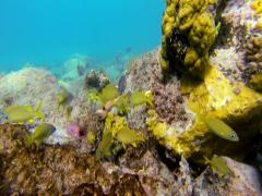 A school of yellow tangs off the coast of the United States Virgin Islands Stock Footage