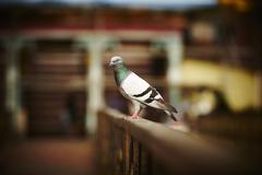 Lone pigeon on the fence - stock photo