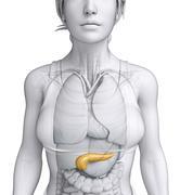female pancreas anatomy - stock illustration