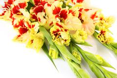 Bright yellow and red gladiolus isolated \ horizontal Stock Photos