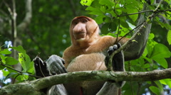 Endangered Proboscis Monkey in the Wild, Sitting on Tree, Looking Around Stock Footage