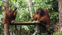 Wild Borneo Orangutans at Semenggoh Nature Reserve, Kuching, Malaysia Stock Footage