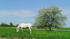 White horse grazing near blooming apple tree Stock Footage