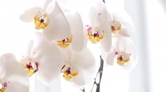 White orchid blooms Stock Footage