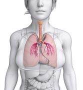 female throat anatomy - stock illustration