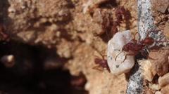 Ants Flip Big Rock Close Up Stock Footage