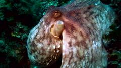 Resting octopus, close shot of head, mediterranean sea Stock Footage