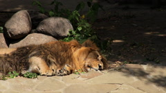 Restless sleeping of a shaggy Asian lion on boulder and shadow background. Stock Footage