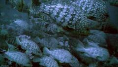 Huge shoal of leather bass fishes Stock Footage