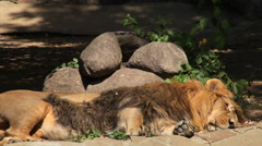 Rolling over of a shaggy Asian lion, sleeping on boulder background. Stock Footage
