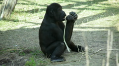 A gorilla kid, sitting on sunny background, is peeling and eating twig bark. Stock Footage