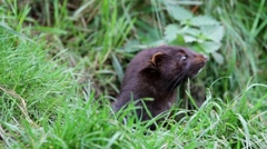 American mink (Neovison vison). Close up shot of head. Stock Footage