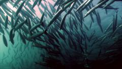 Shoal of barracudas Stock Footage