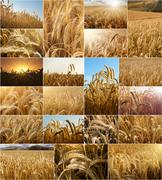 Wheat fields collage Stock Photos