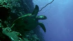 hawks bill turtle, swimming away from coral reef, low angle - stock footage