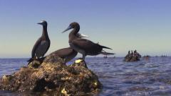 Gannets on coral reef blocks Stock Footage