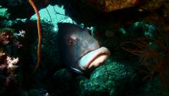 Close shot of giant sweetlip fish in coral reef cave, red sea Stock Footage