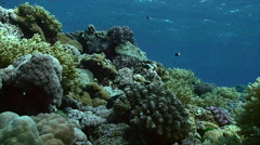 Static shot of coral reeftop, hard corals, surface background, red sea Stock Footage