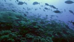 Shoal of colorful tropic fish over coral reef Stock Footage