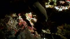 Underwater torch illuminates moray eel during night dive, red sea reef Stock Footage