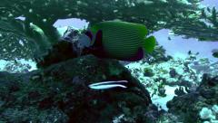 Tracking shot of emperor angelfish under huge table coral, red sea reef Stock Footage