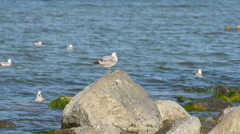 Seagull on the stone Stock Footage