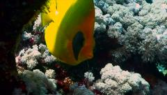 Single yellow butterfly fish hiding under corals, red sea reef Stock Footage